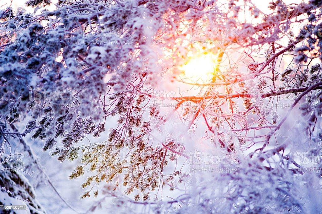 Winter sun behind a frosty pine tree – Foto