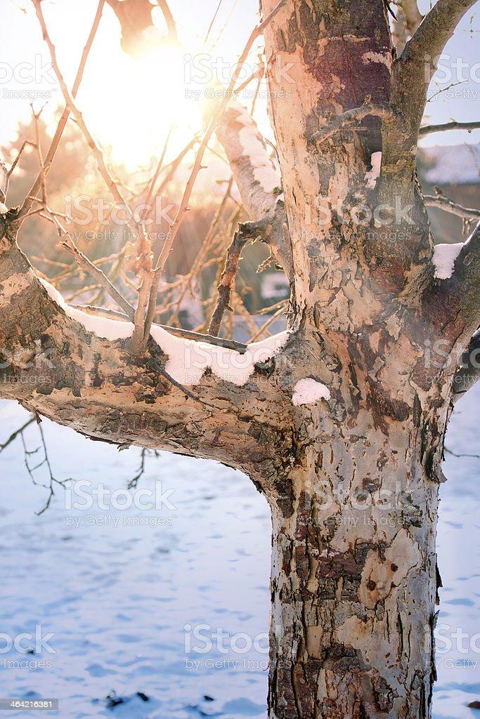 Winter Sun shining through old Apple Tree stock photo
