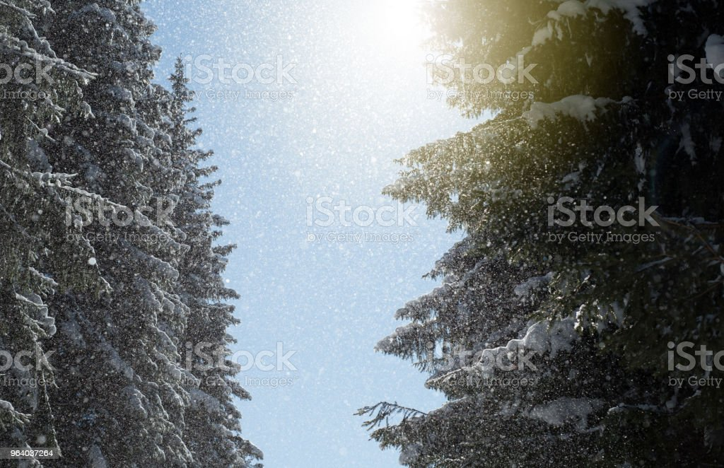 Winter Sunlight Sunbeam and Pine Trees in Natural Forest - Royalty-free Beauty Stock Photo