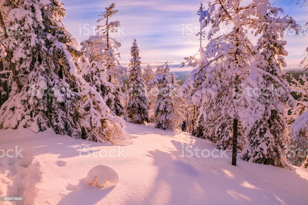 Winter Sunny Landscape with big snow covered pine trees - Finland, Lapland stock photo