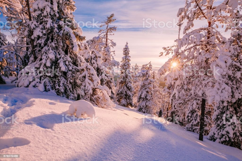 Winter Sunny Landscape with big snow covered pine trees stock photo