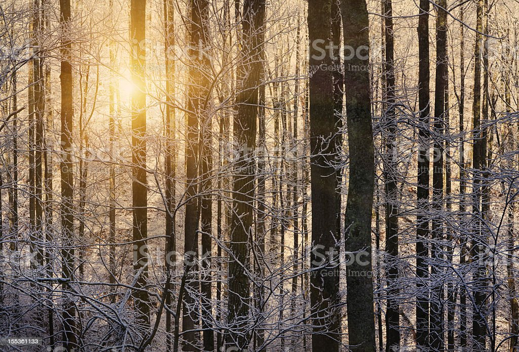 Winter sunrise through trees with snow royalty-free stock photo