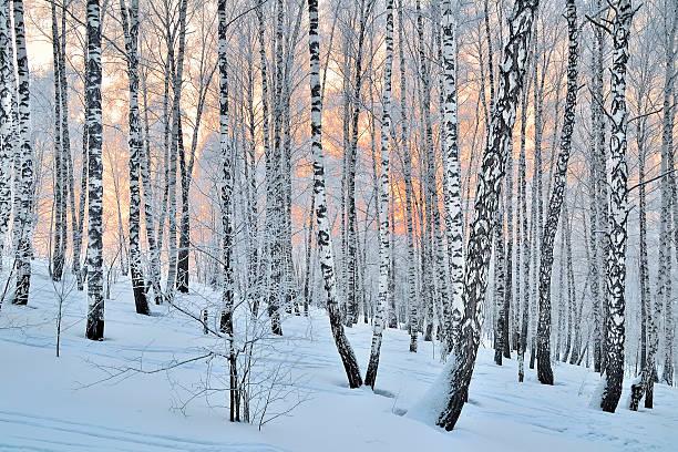 coucher de soleil dans la forêt de bouleaux d'hiver - arbre à feuilles caduques photos et images de collection
