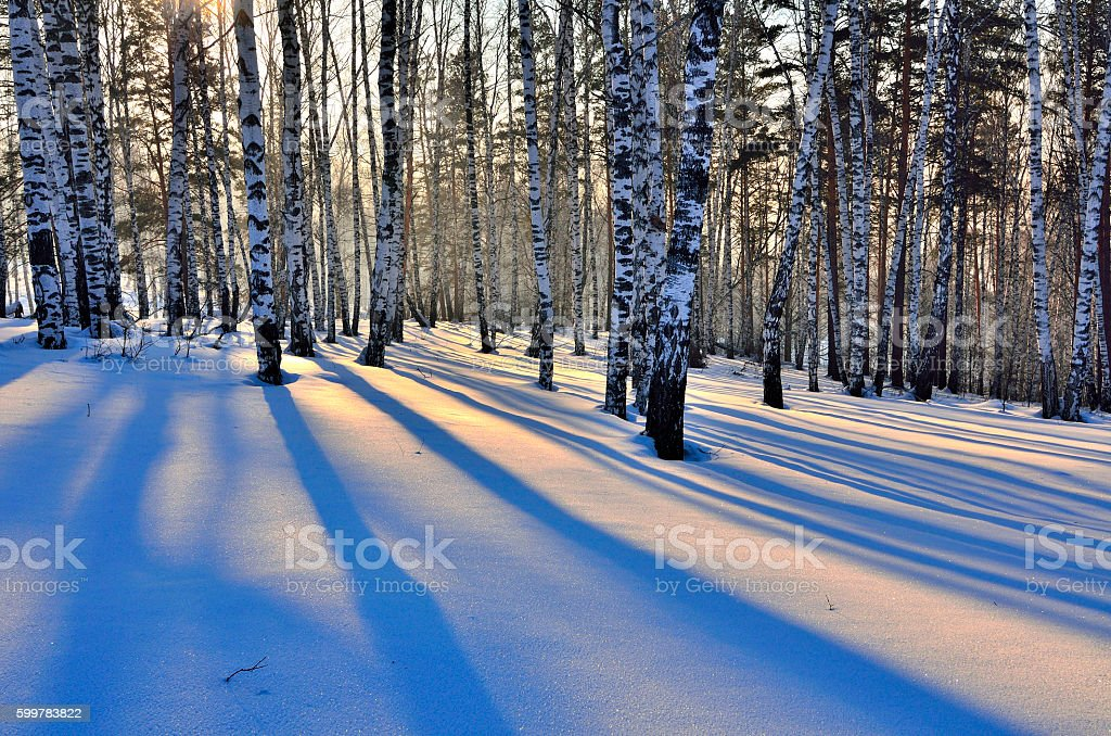 Winter Sunset in birch grove. stock photo
