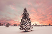 Spruce Tree covered in snow in winter sunset