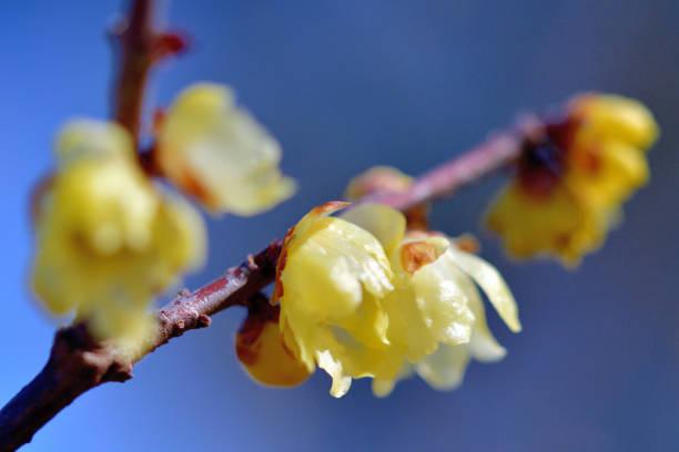 Winter Sweet / Chimonanthus praecox – Foto