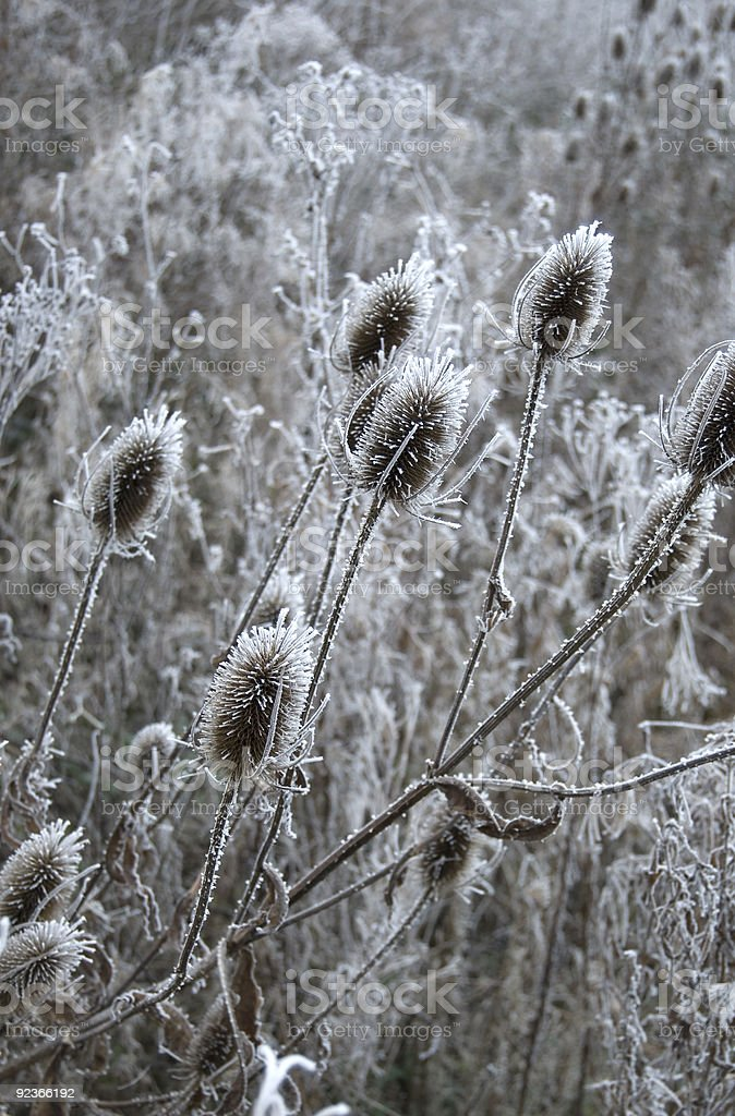 Winter thistles royalty-free stock photo