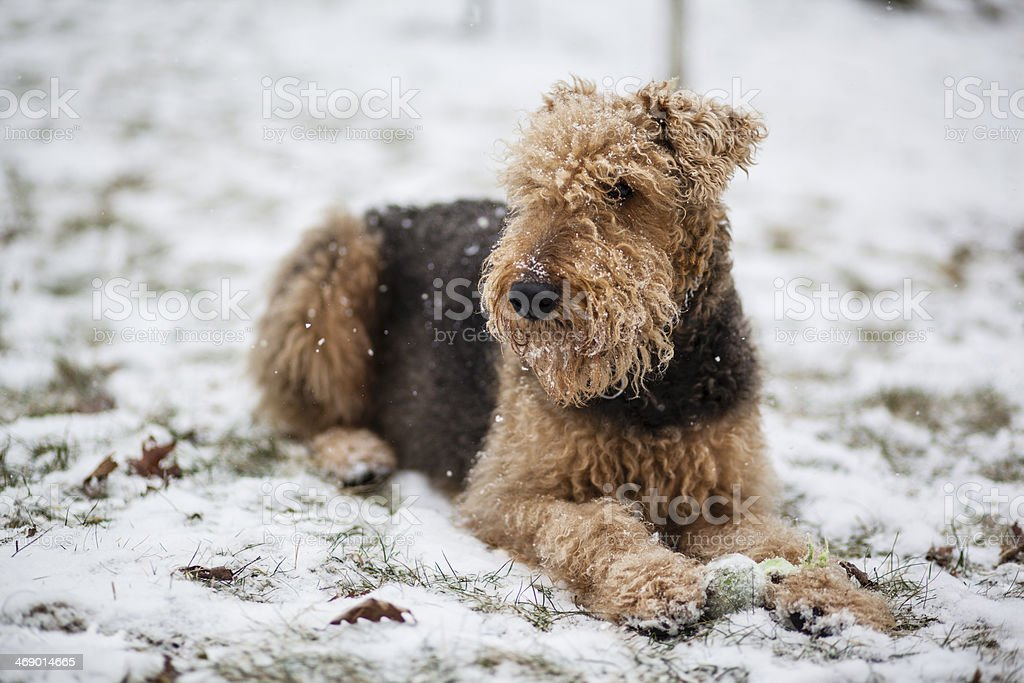 Winter time for a dog terrier on the snow stock photo