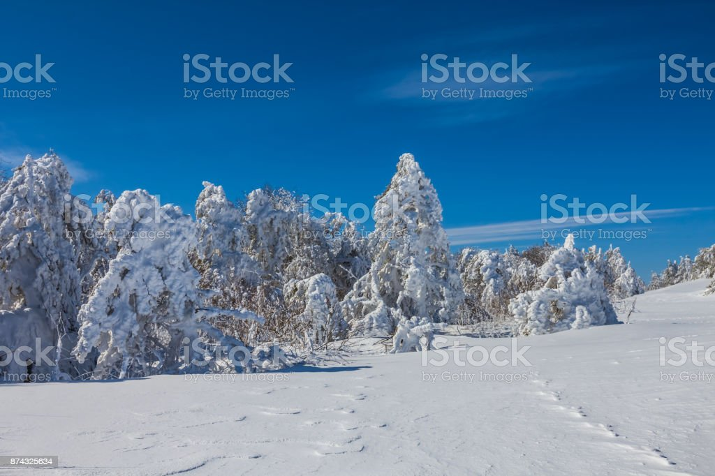 winter tine tree forest in a snow stock photo