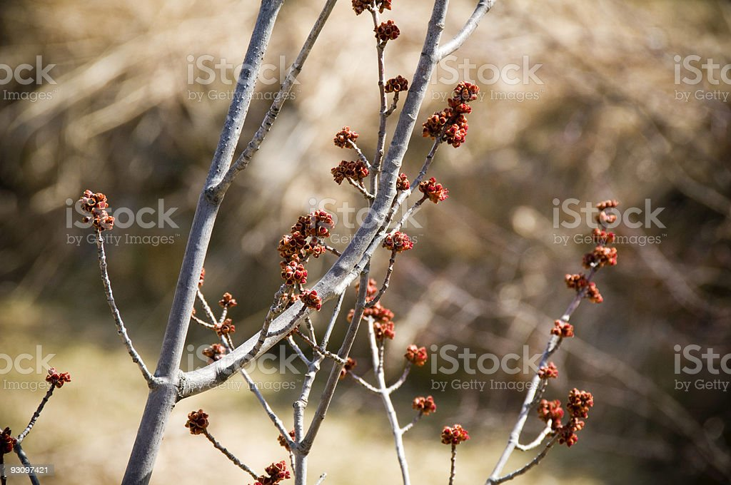 Winter Tree Branch With New Growth royalty-free stock photo
