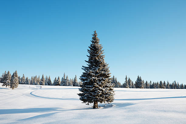 Winter Tree Winter landscape with lonely spruce tree in front. Early morning shot. fir tree stock pictures, royalty-free photos & images
