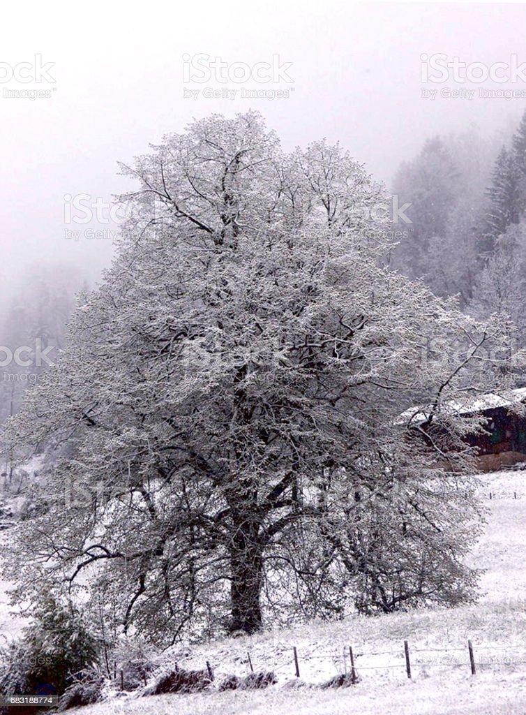 Winter Tree 免版稅 stock photo