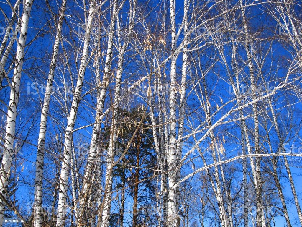 Winterbäume und Himmel – Foto