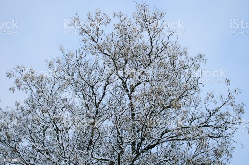 winter trees. Black trees against the sky. Black branches of trees...