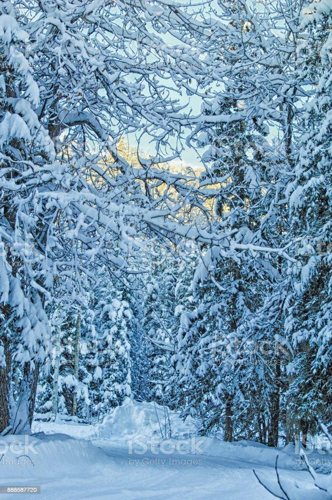 Winter Trees in Alaska stock photo