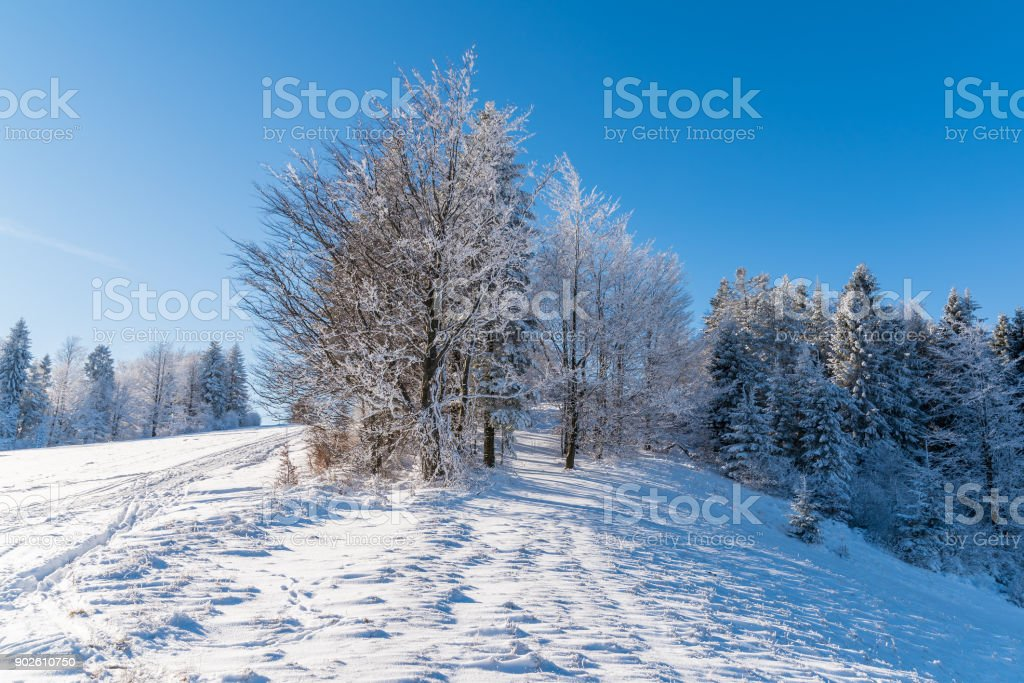 Winter trees in Beskid Sadecki Mountains on sunny day, Poland stock photo