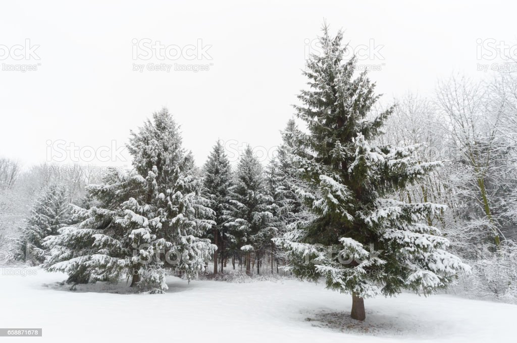 Winter trees in park covered with snow stock photo