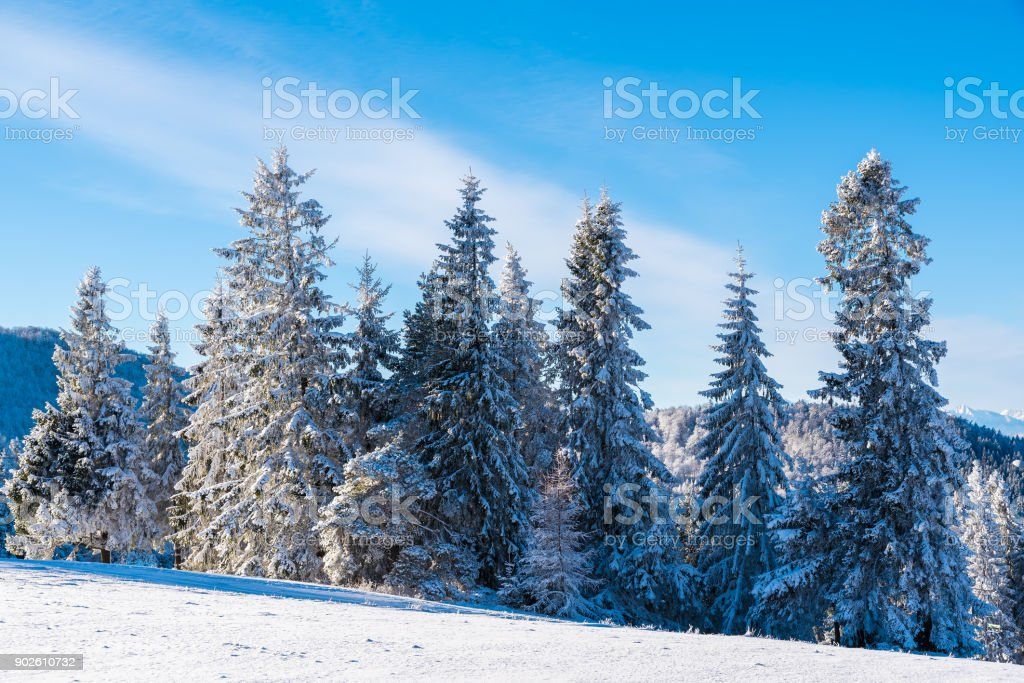 Winter trees on sunny day in Beskid Sadecki Mountains, Poland stock photo