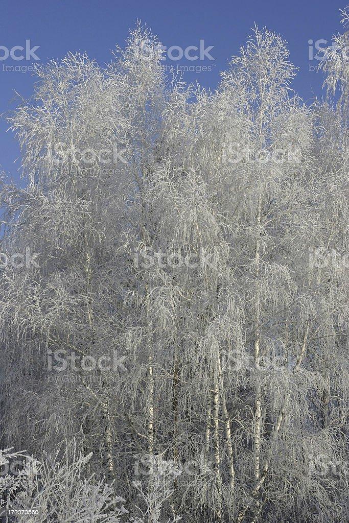 Winter trees stock photo
