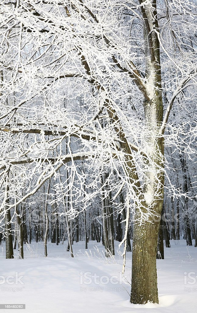 Winter trees with snowy branches royalty-free stock photo