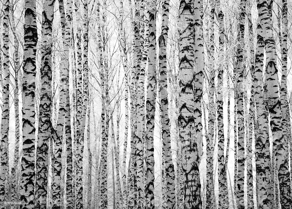 Winter trunks birch trees stock photo