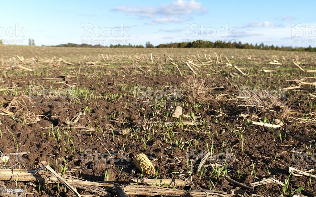 Winter Wheat in Corn Stubble stock photo
