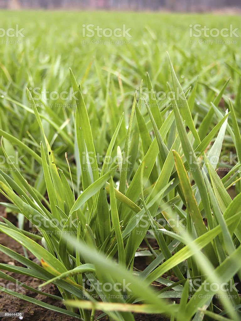 Winter wheat plant detail royalty-free stock photo