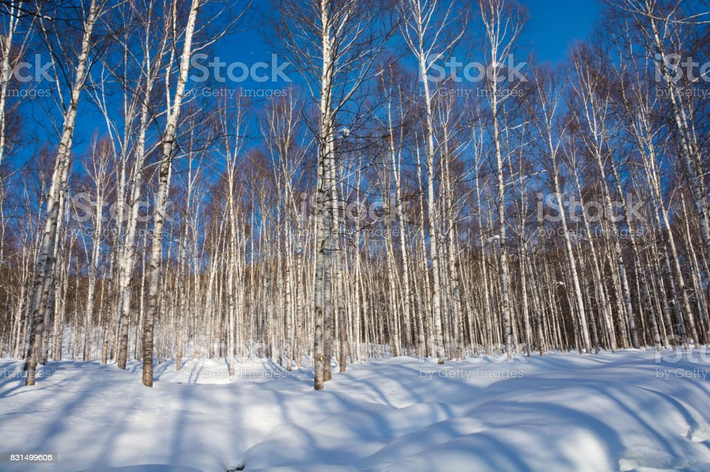 Winter white birch forest and blue sky stock photo