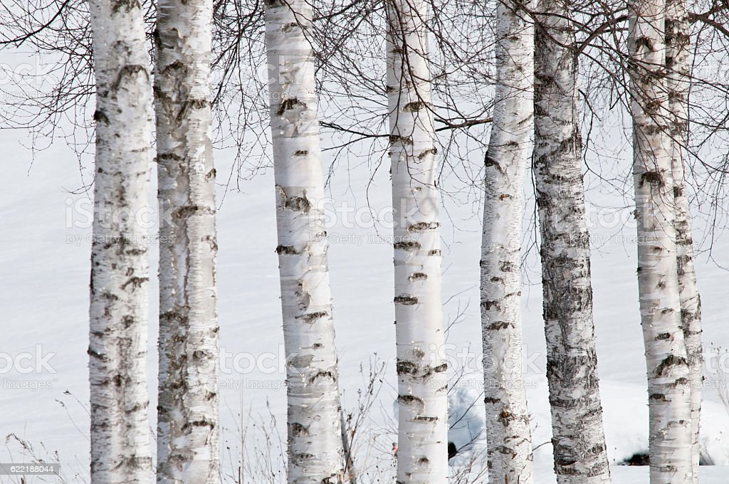 Winter white birch stock photo
