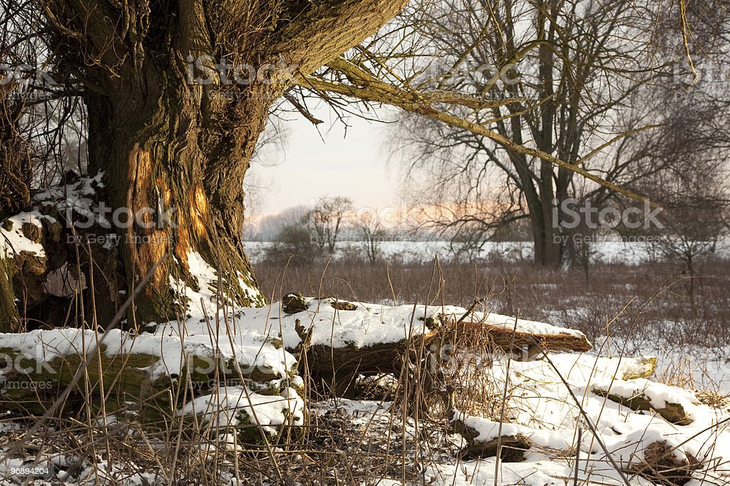 Winter Willow royalty-free stock photo