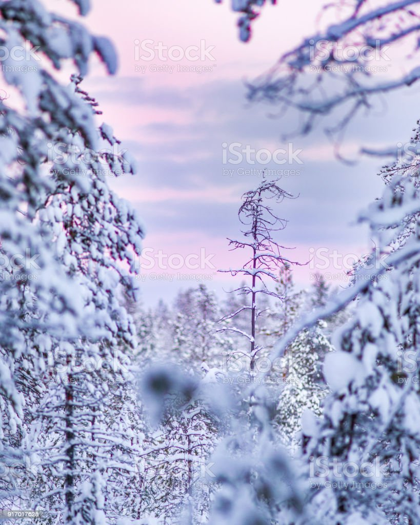 Winterwald in Lappland – Foto