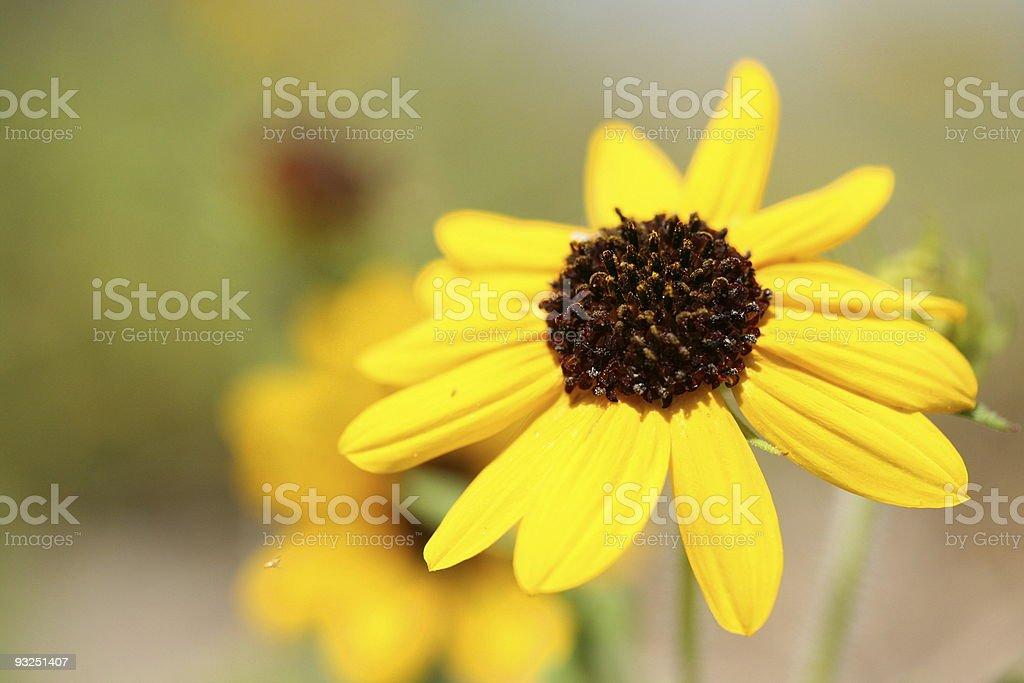 Winter Yello Daisy royalty-free stock photo