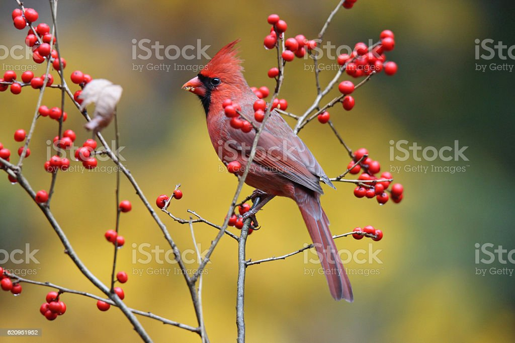 Winterberry Cardinal stock photo