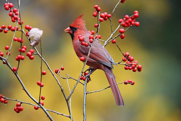 winterberry cardinal - vogel herfst stockfoto's en -beelden