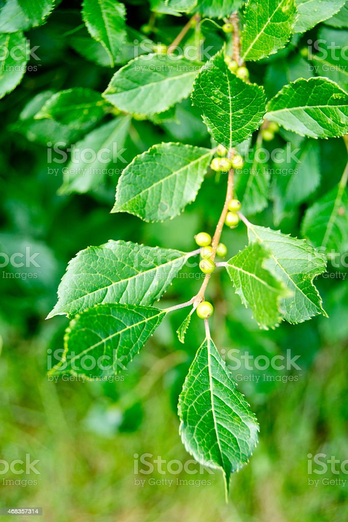 Winterberry leaves and fruit royalty-free stock photo