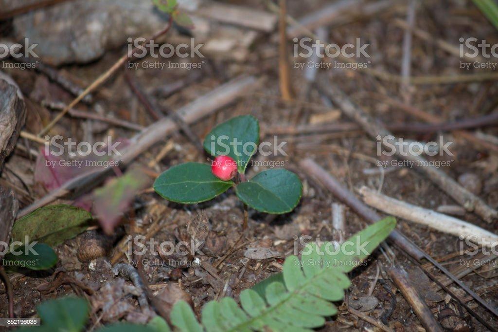 Winterberry stock photo
