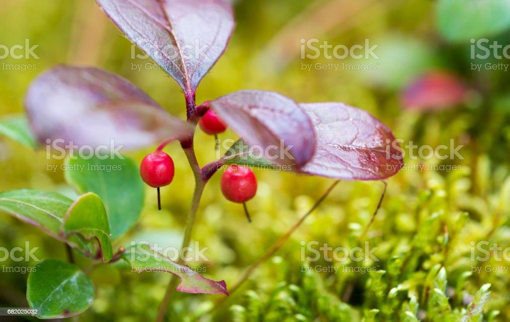 Wintergreen Berries stock photo