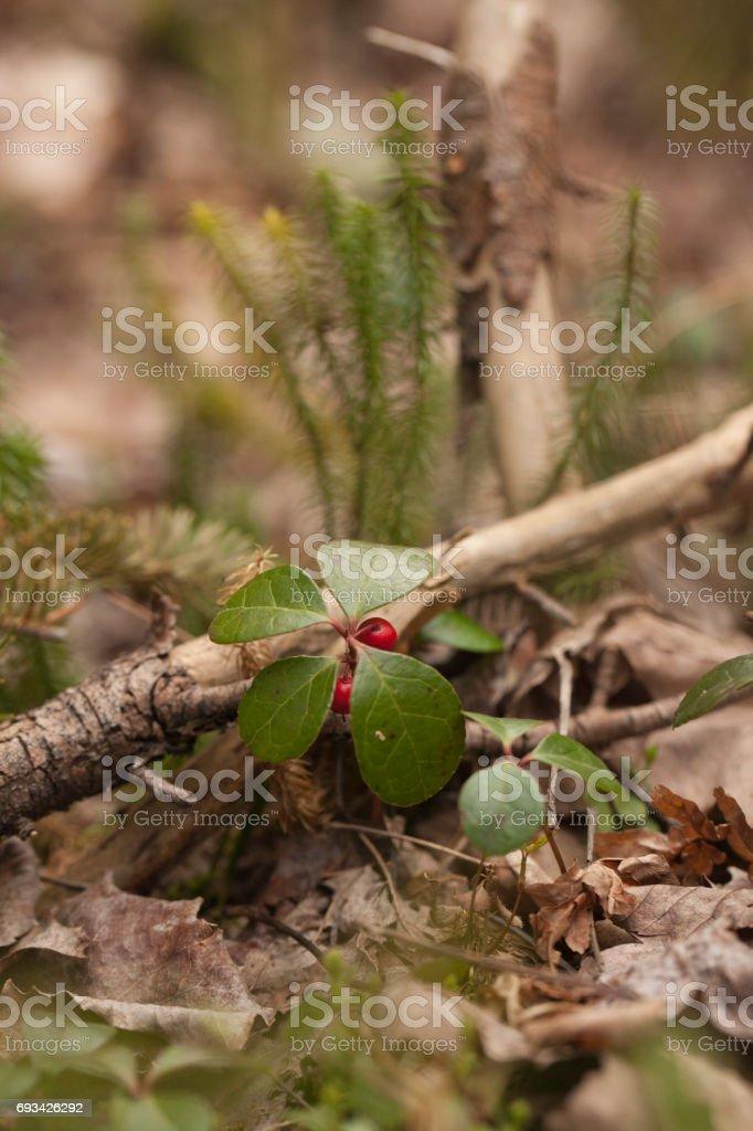 Wintergreen stock photo