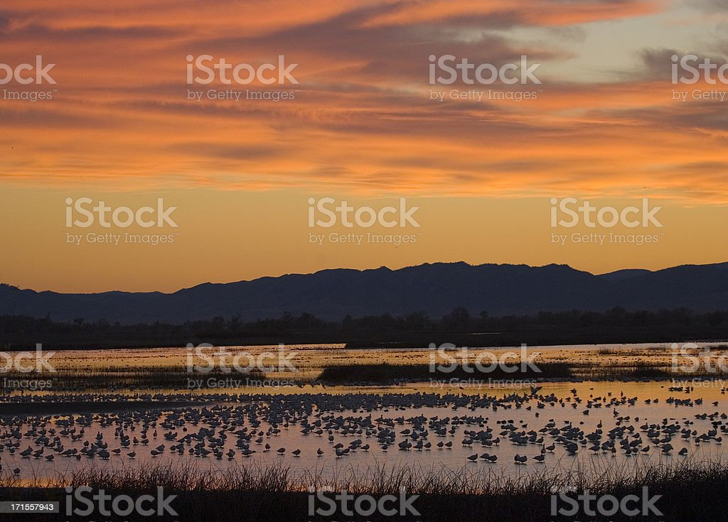 Wintering birds in CA national wildlife refuge at sunset royalty-free stock photo