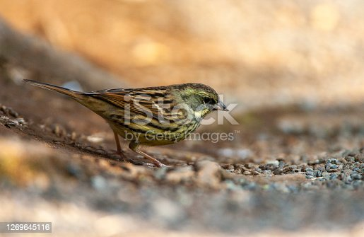 Wintering Black-faced Bunting in a citypark in Tokyo, Japan. Also known as Schoeniclus spodocephala. Standing on the ground.