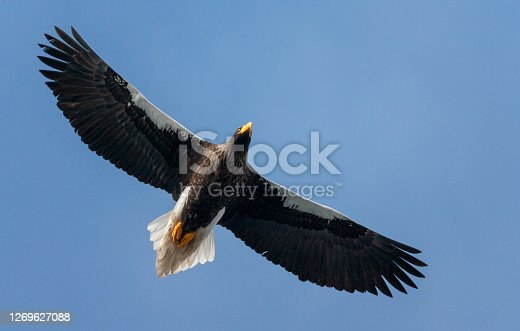 Wintering Steller's Sea Eagle (Haliaeetus pelagicus) on the island Hokkaido in Japan. Adult in flight, seen from below.