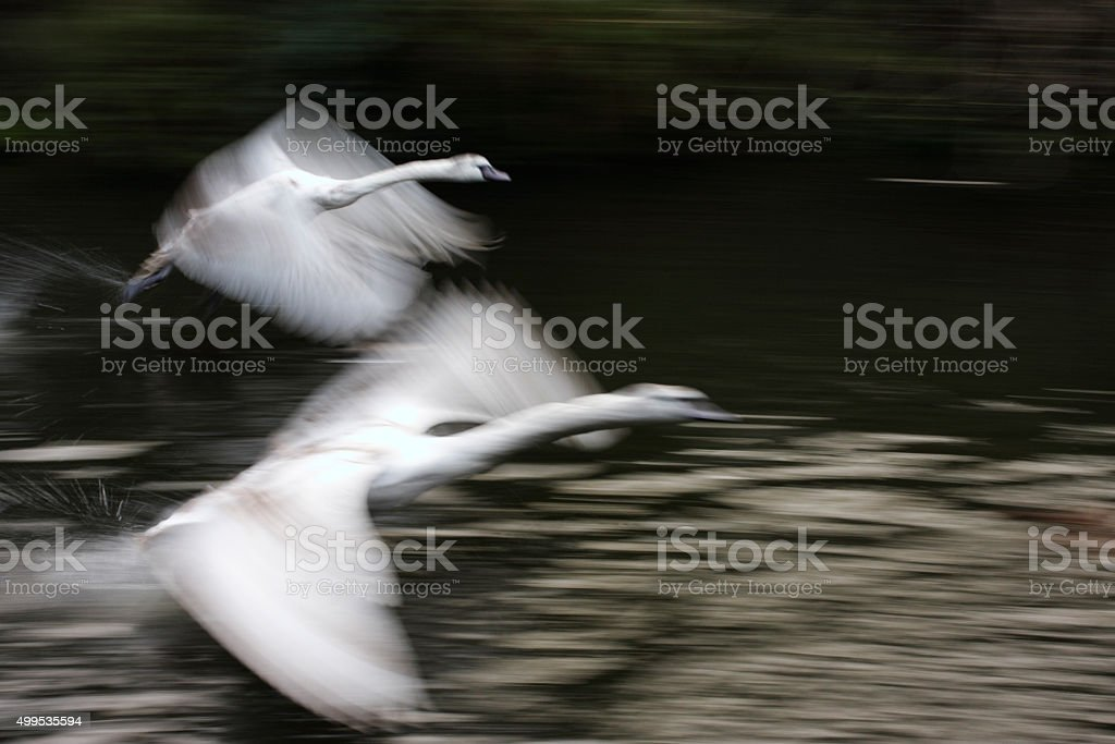 Two swans blurred speed in flight Wilts & Berks canal stock photo