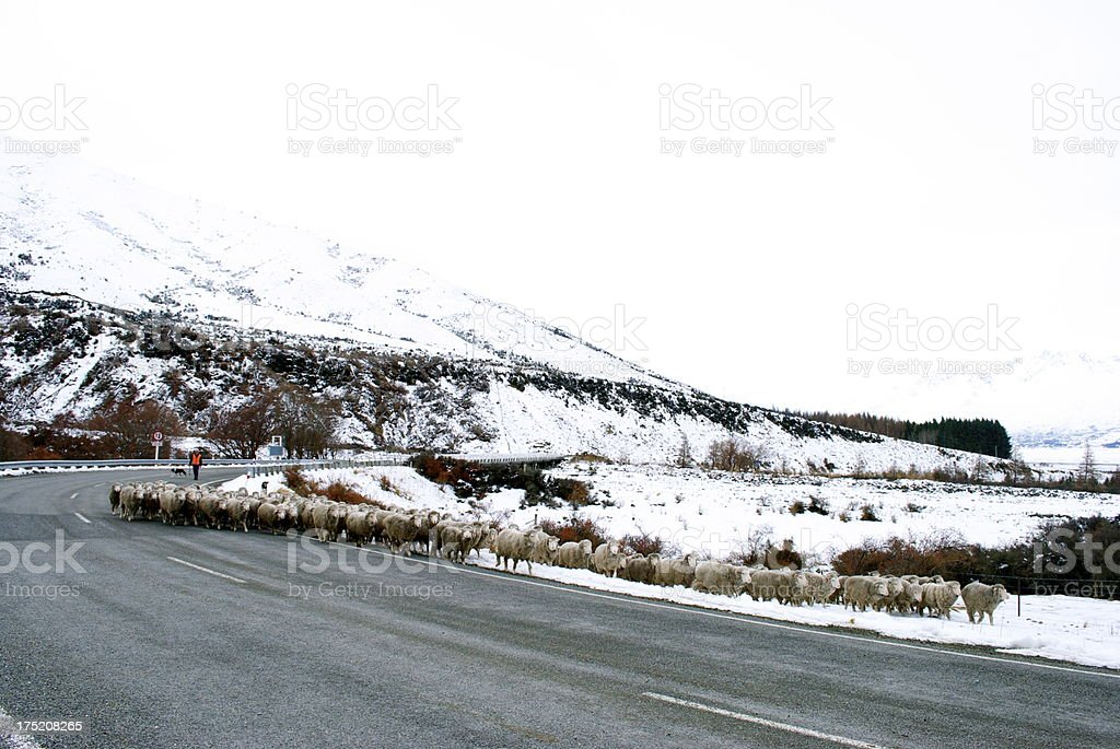 Winter's Roadscape with Sheep, New Zealand royalty-free stock photo