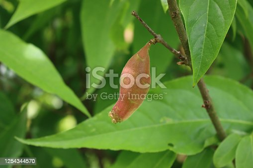 Chimonanthus praecox or Calycanthus bush with fruits.  Wintersweet red fruits on branch on summer