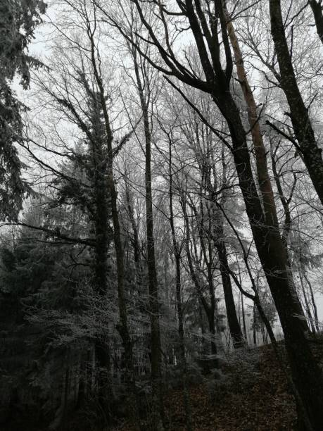 wintertime   frost in forest stock photo