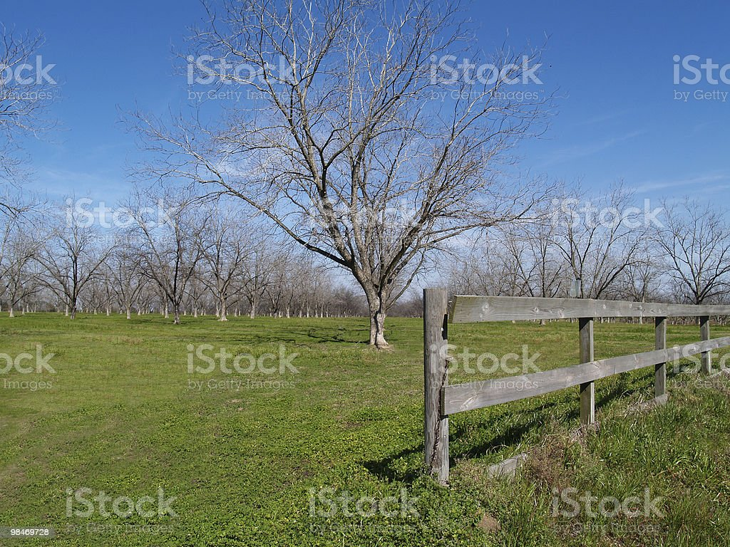 Wintertime Pecan Grove royalty-free stock photo