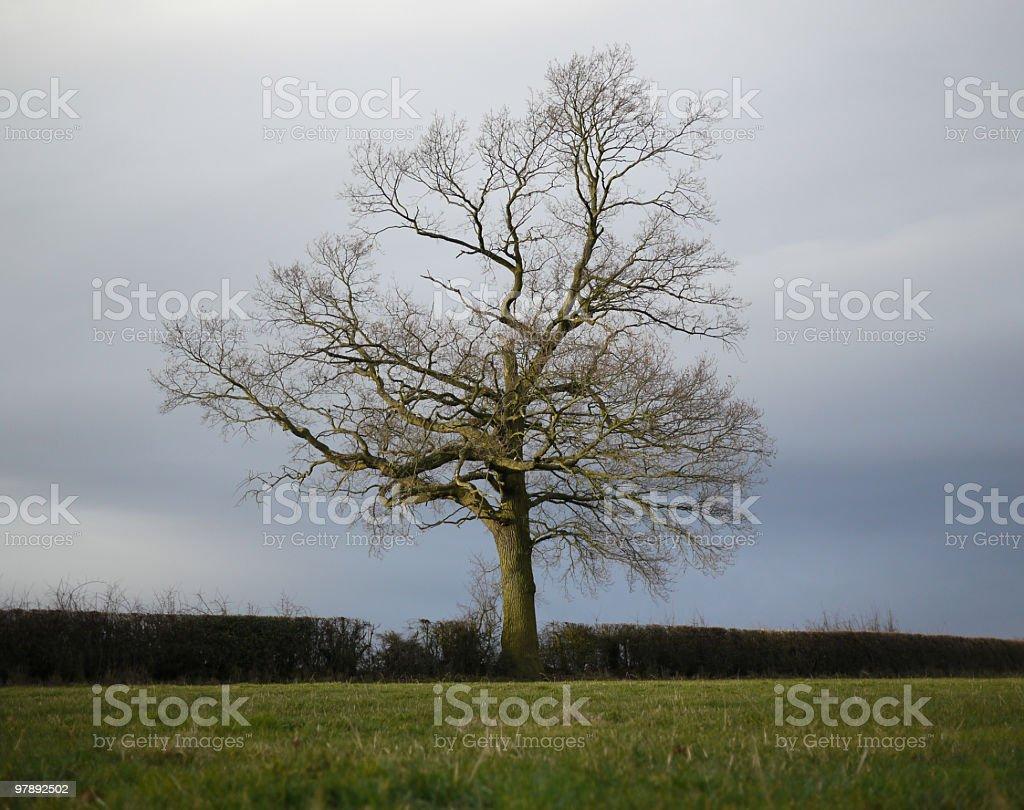 Wintery Oak Tree royalty-free stock photo