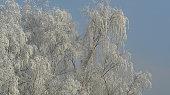 a Wintry birch with blue sky