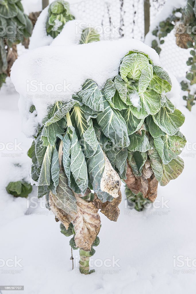 Wintry Cabbage Plant royalty-free stock photo