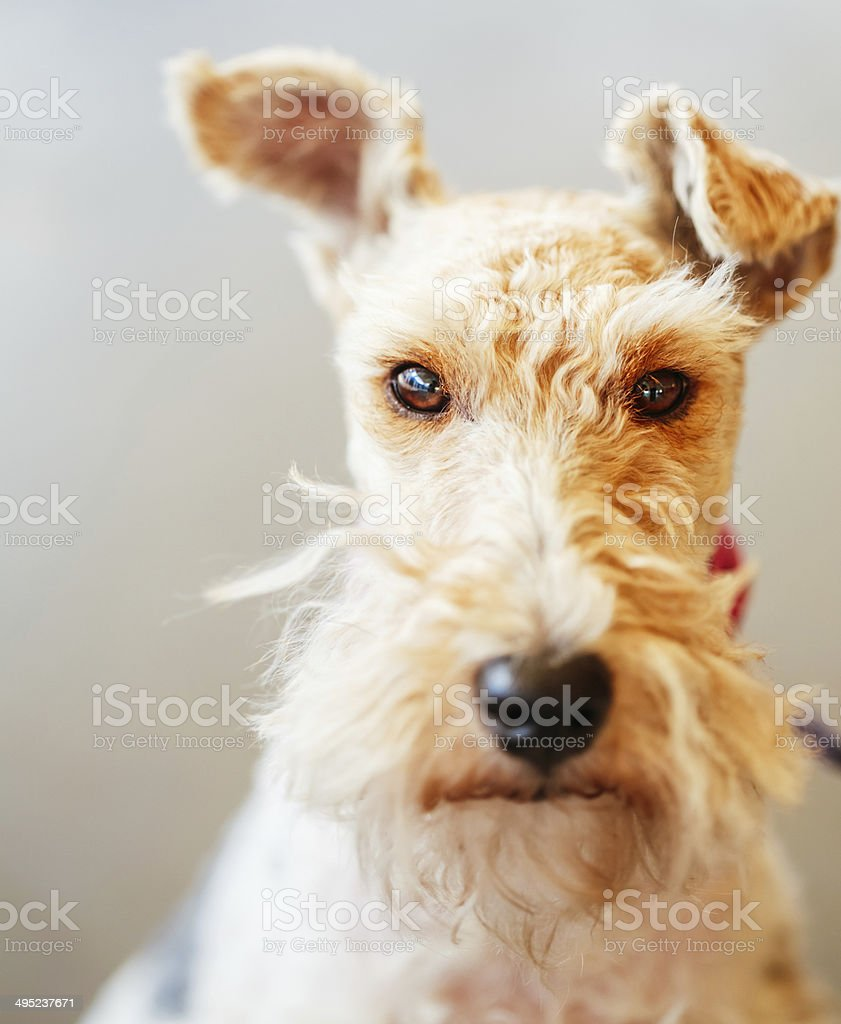 Wire Fox Terrier stock photo